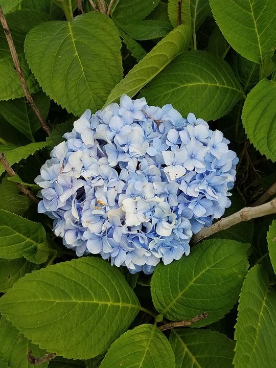 Hydrangea, Flower, Shrub, Nature, Floral, Plant