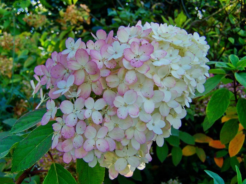 Hydrangea, Pale Pink