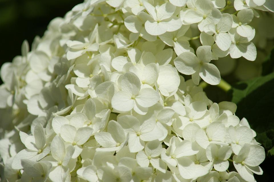 Hydrangea, Flowers, White Hydrangea, Petals
