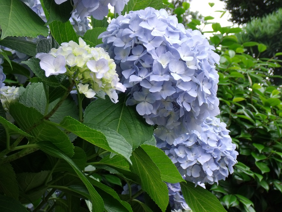 Hydrangea, Blue Flowers, Plant