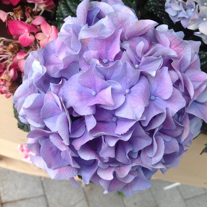 Hydrangea, Keukenhof Garden, Purple, Flower, Garden