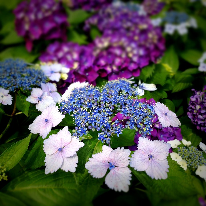Hydrangea, Flowers, Close Up, Rainy Season