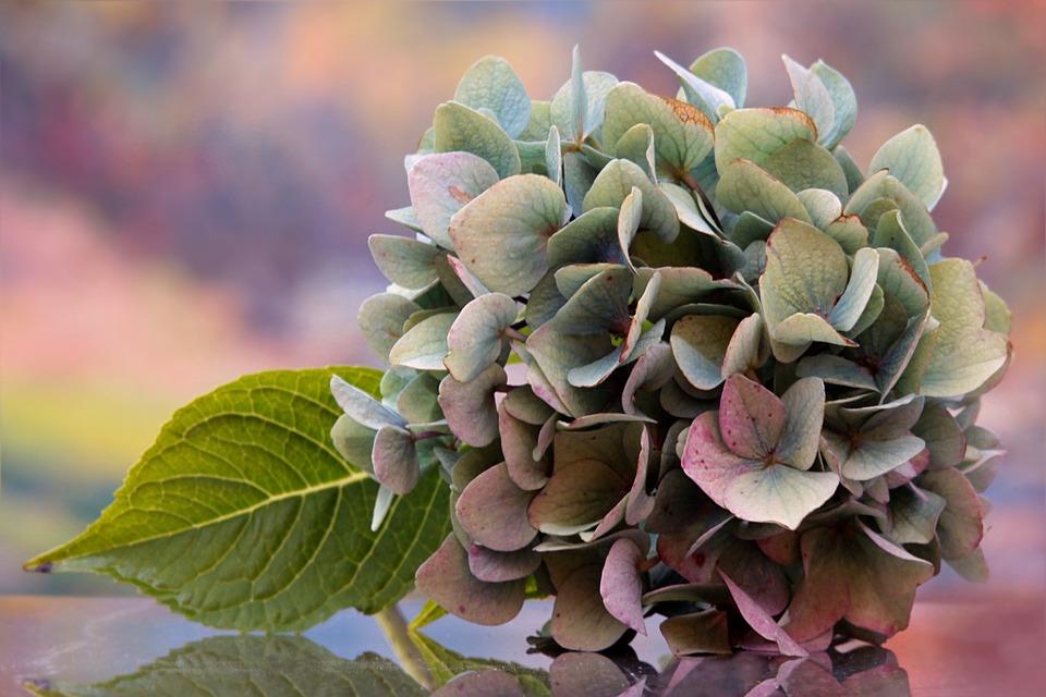 Still Life, Flower, Hydrangea, Single Bloom