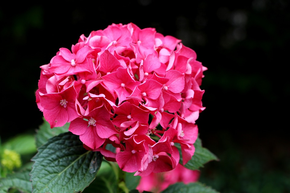 Hydrangea, Pink, Flower, Elegant, Vibrant, Colorful