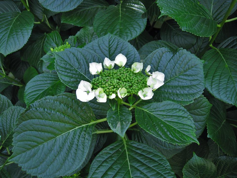 Hydrangea, White, Bud