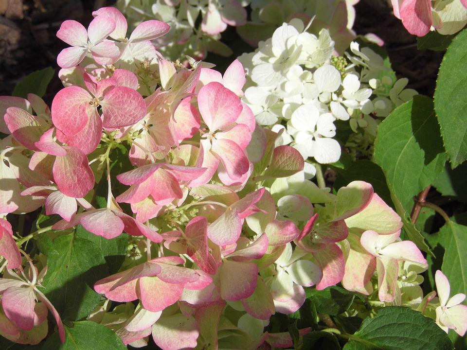 Hydrangea, Flowers, White Pink