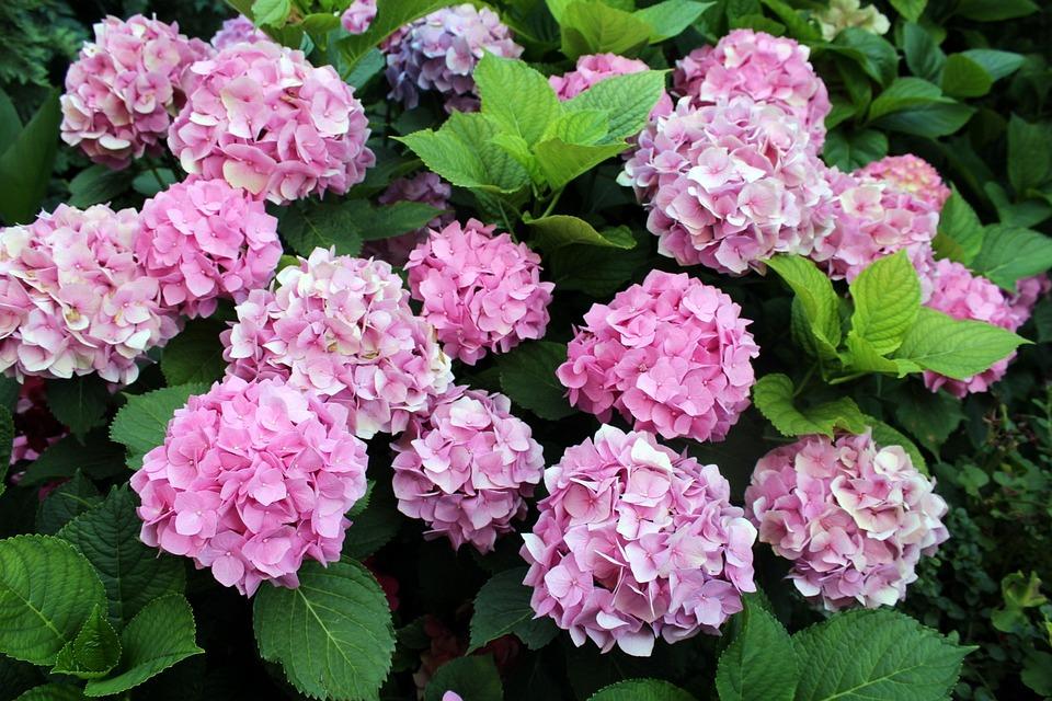 Hydrangeas, Garden, Flowers, A Garden Plant, Flowering