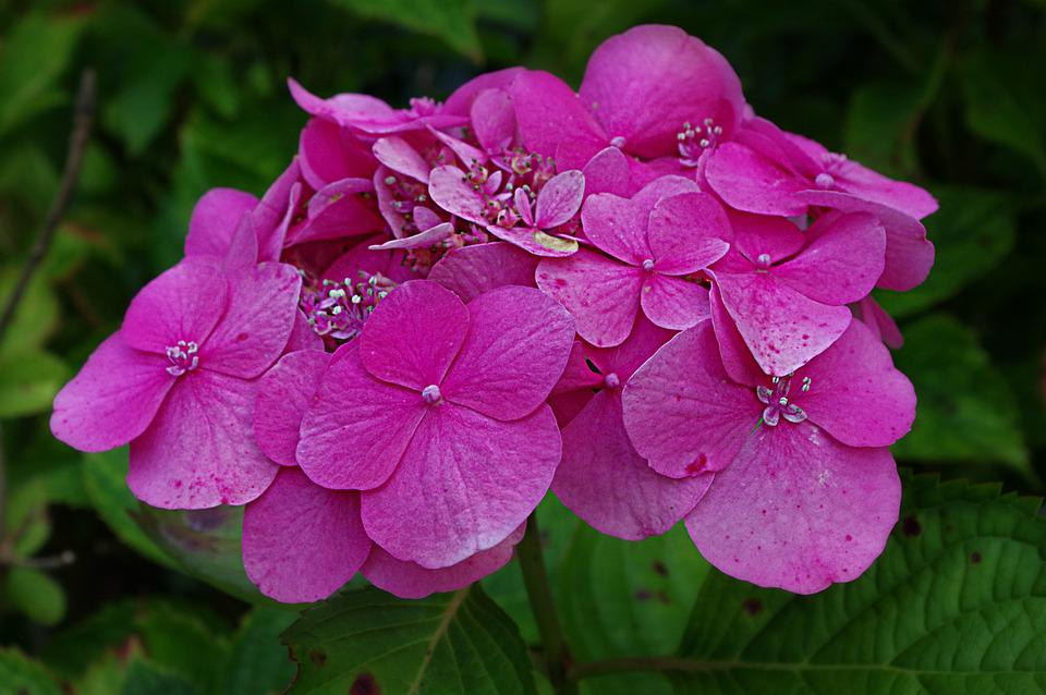 Hydrangeas, Hydrangea, Leaves, Blossom, Bloom, Blue