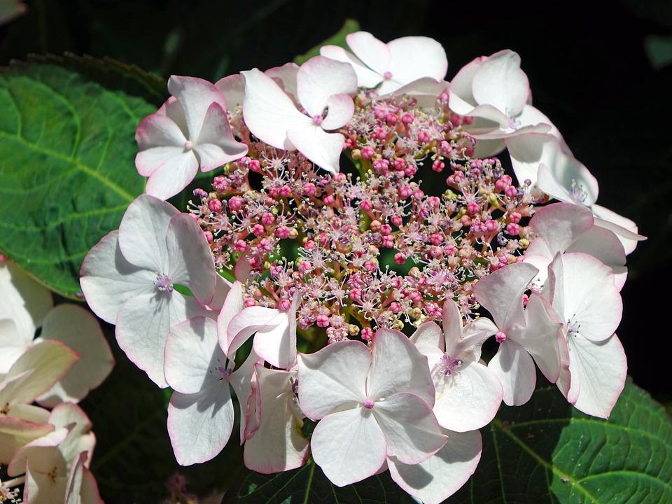 Hydrangeas, Flowers, Pink, Nature, Blossom, Garden