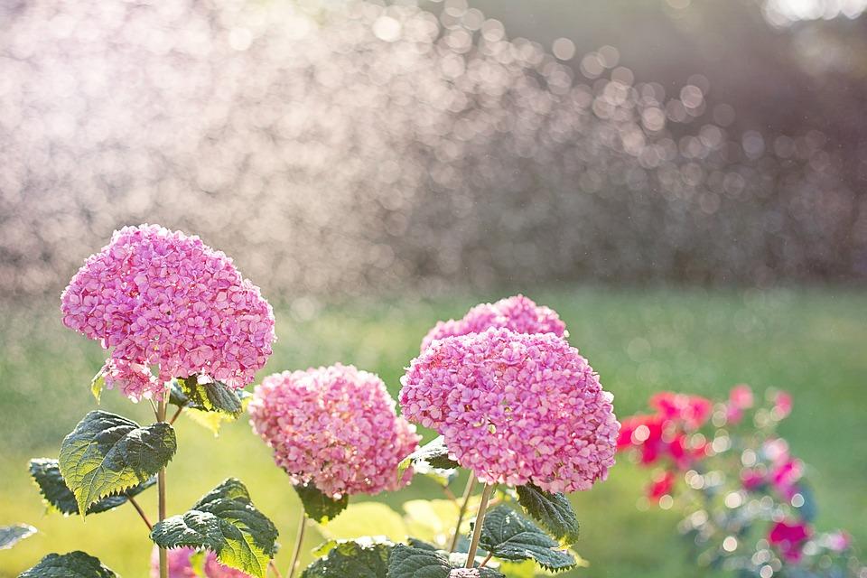 Hydrangeas, Watering, Sprinkling, Sprinkler, Garden