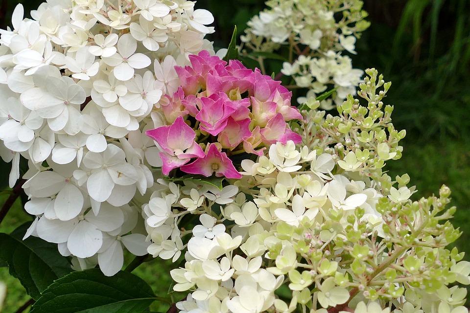 Free photo hydrangeas summer garden white flowers pink max pixel hydrangeas flowers white pink garden summer mightylinksfo