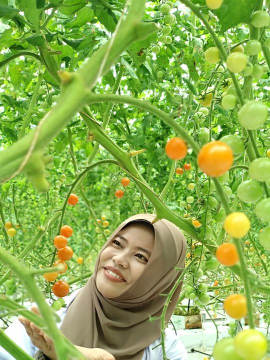 Hydroponic, Cherry Tomatoes, Greenhouse, Tomato