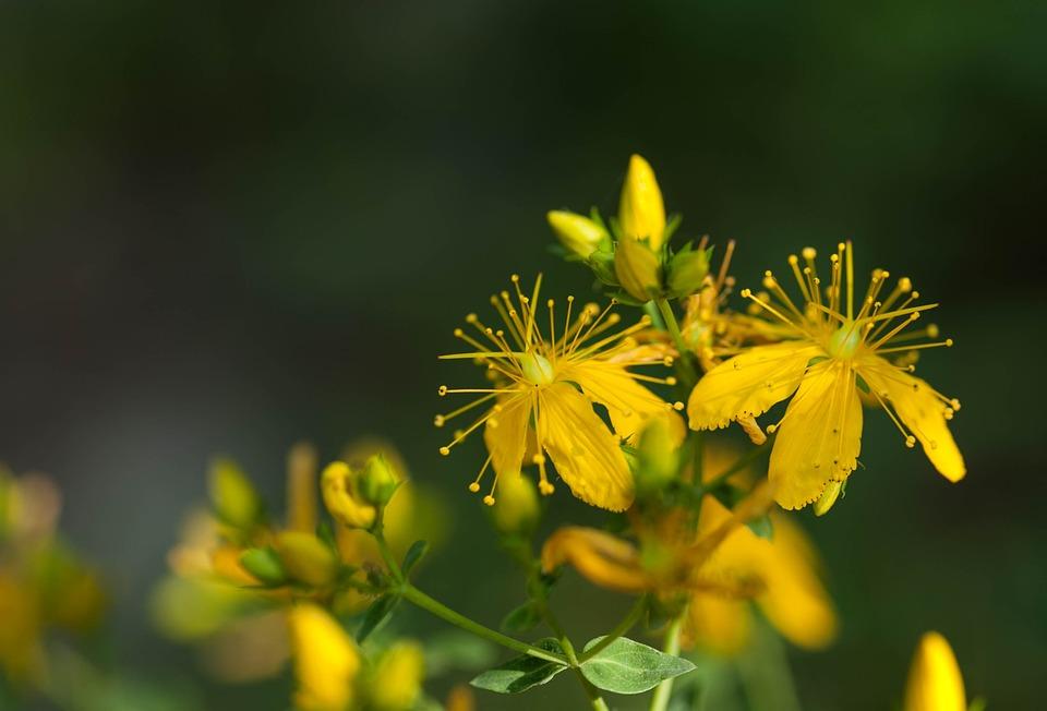 Hypericum Perforatum, Herbaceous, Saint John's Wort
