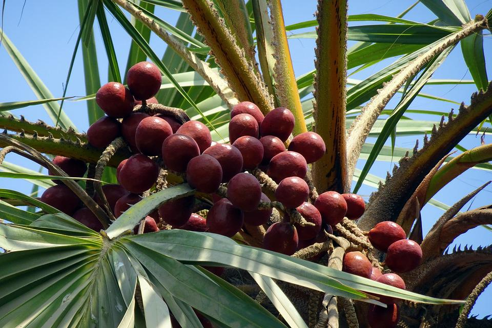Palm, Fruit, Hokka Tree, Hyphaene Thebaica, Doum Palm