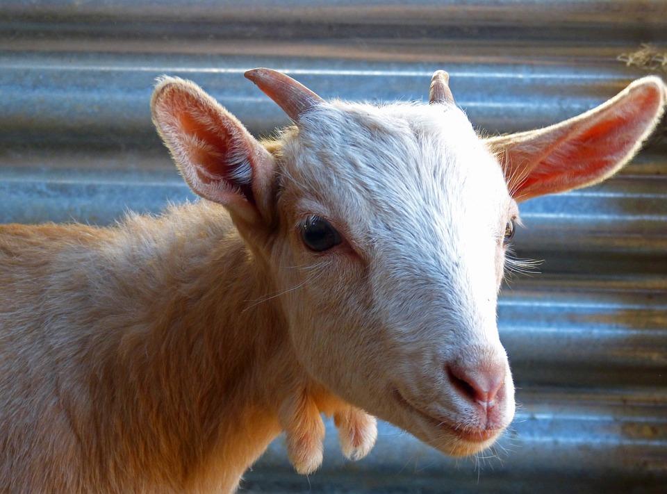 Kid, Goat, Breeding, I Borreguito, Horns