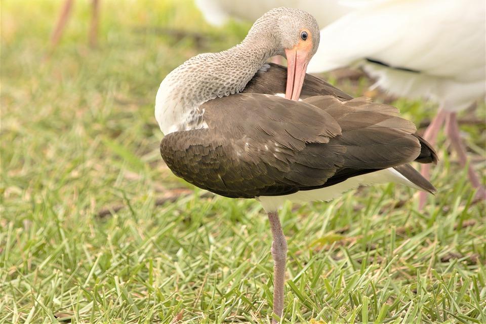 Bird, Ibis, Brown, Interesting Pose, Scratching, Back