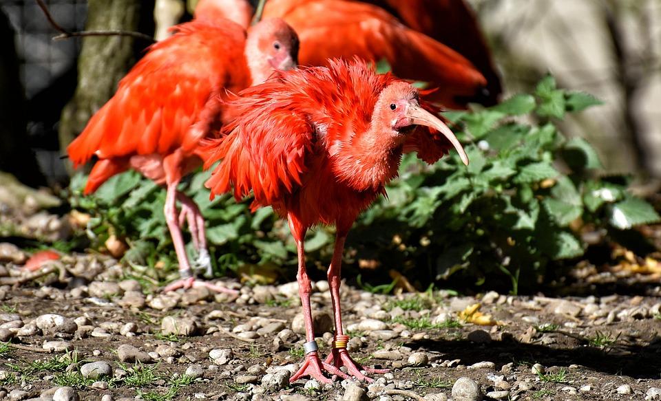 Ibis, Eudocimus Ruber, Scarlet Ibis, Red Ibis, Plumage