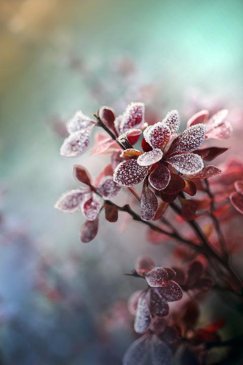 Barberry, Leaves, Frost, Twigs, Plant, Ice, Cold