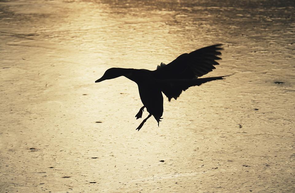 Silhouette, Duck, Skyline, Lake, Ice, Ice Rink, Winter