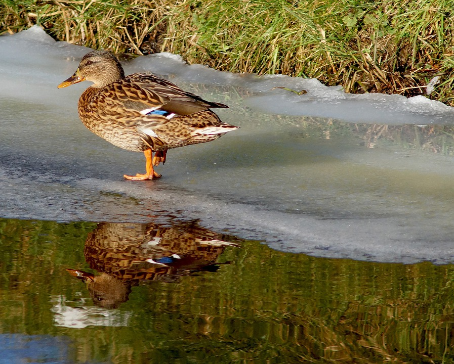 Duck, Water, Ice, Mirroring, Winter
