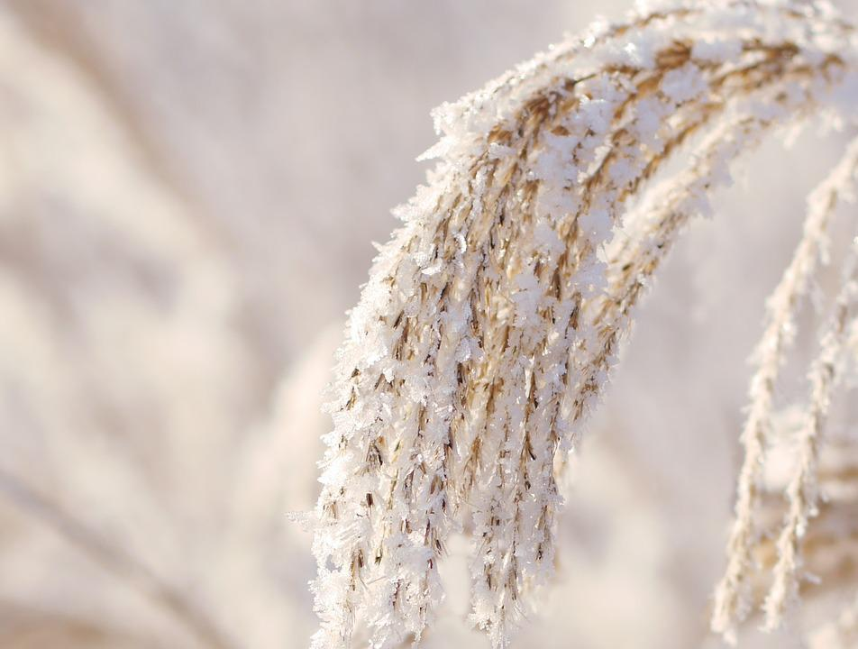 Winter, Reed, Snow, Wintry, Nature, Crystal, Ice