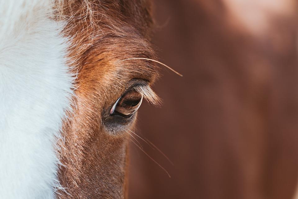 Horse, Head, Eye, Pony, Icelandic Horse, Icelandic Pony