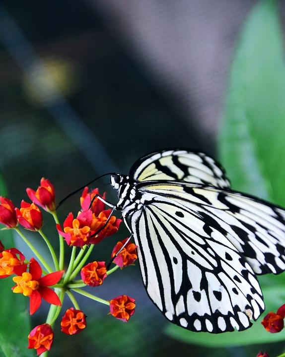 White Baumnymphe, Idea Leukonoe, Butterfly, White