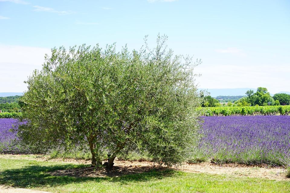 Olive Tree, Tree, Idyll, Idyllic, Lavender