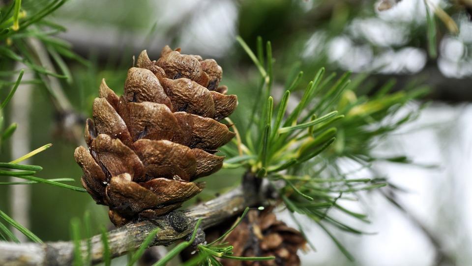Free Photo Iglak Sprig Larch Christmas Tree Pine Cone