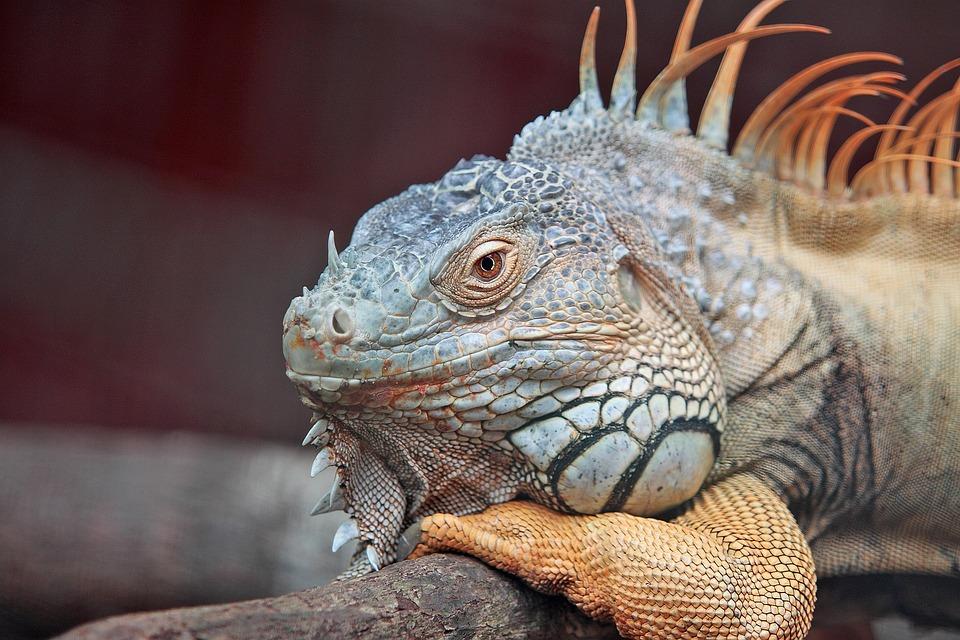 Animal, Iguana, Lizard, Close-up, Exotic, Macro