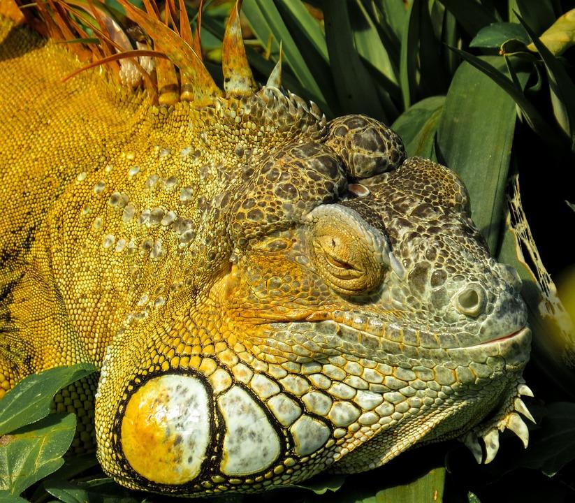 Iguana, Close, Reptile, Lizard, Scaly, Dragon, Scale
