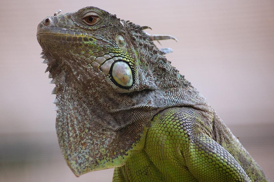 Lizard, Tropical House, Zoo, Exotic, Iguana, Animal
