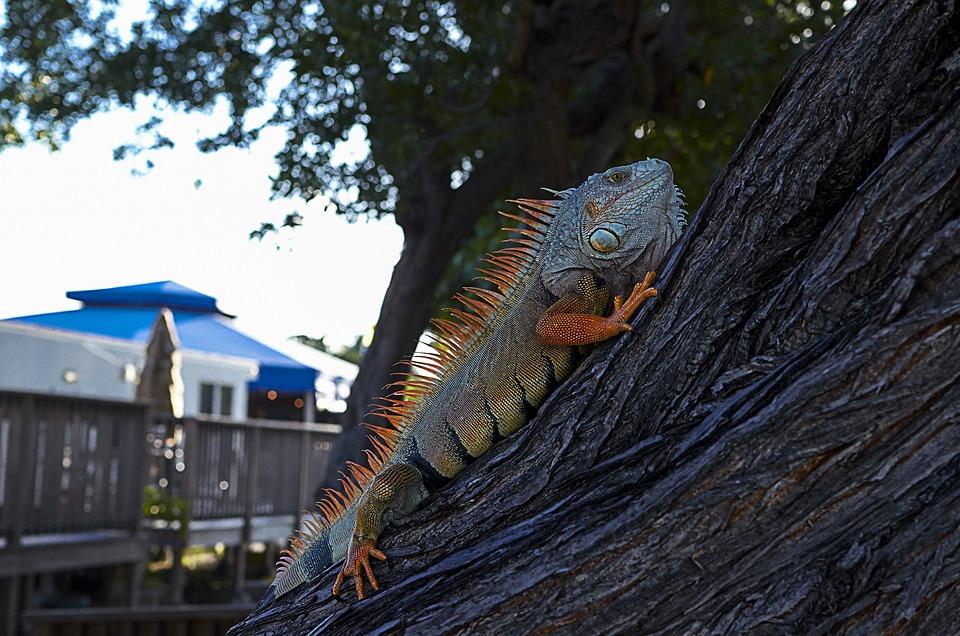 Iguana, Koa Campground, Sugarloaf Key, Florida Keys