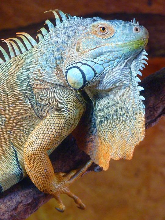Nature, Animal, Iguana, Green Iguana, Iguana Iguana