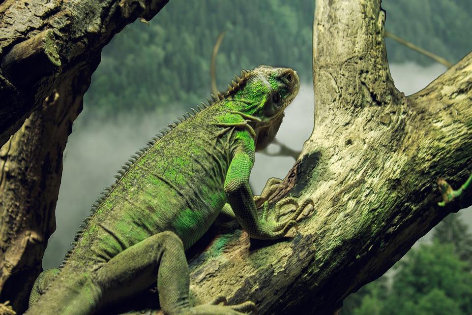 Small Antillean Iguana, Iguana, Iguana Delicatissima