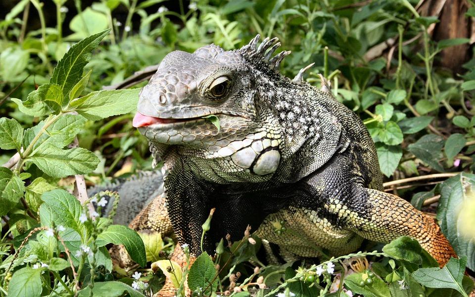 Iguana, Lizard, Animal, Zoo, Reptile, Scales
