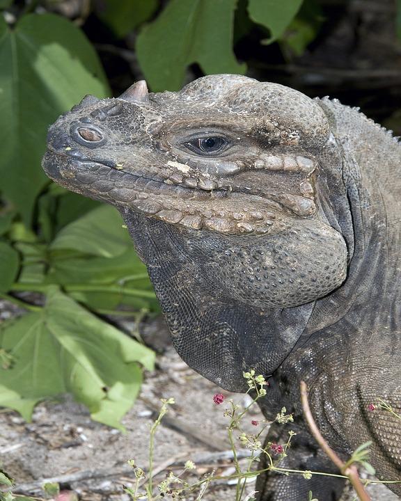 Iguana, Wildlife, Nature, Outside, Macro, Close-up