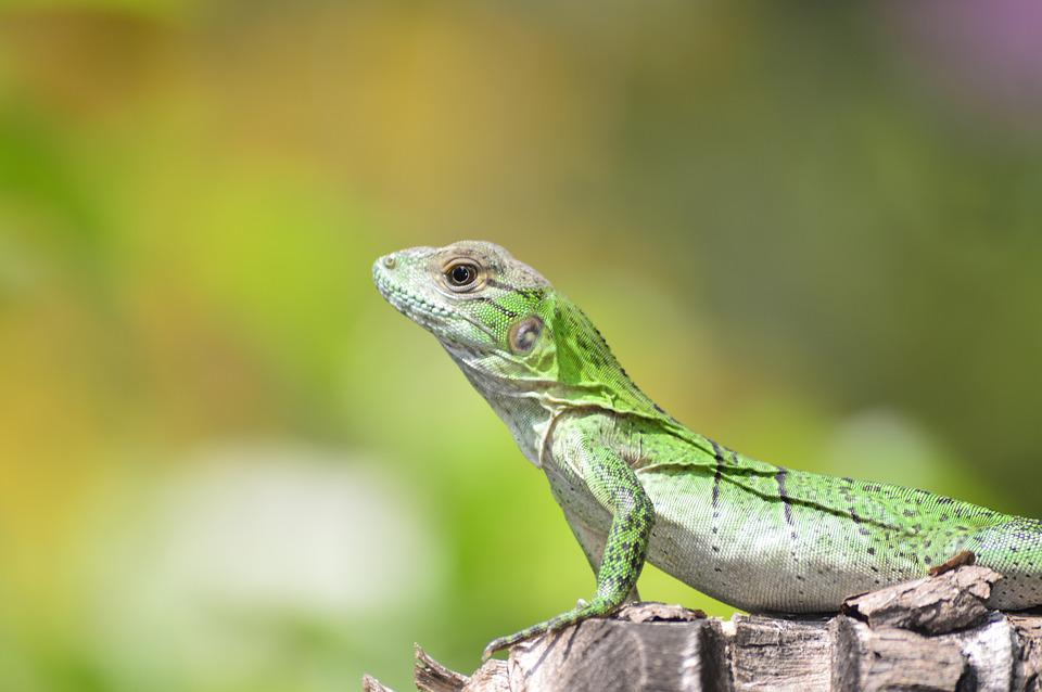 Lizard, Nature, Iguana, Fauna, Green