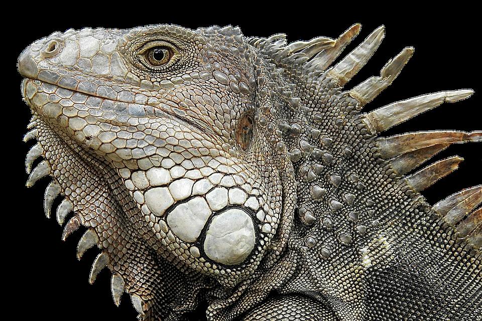 Iguana, Portrait, Profile, Close Up, Reptile