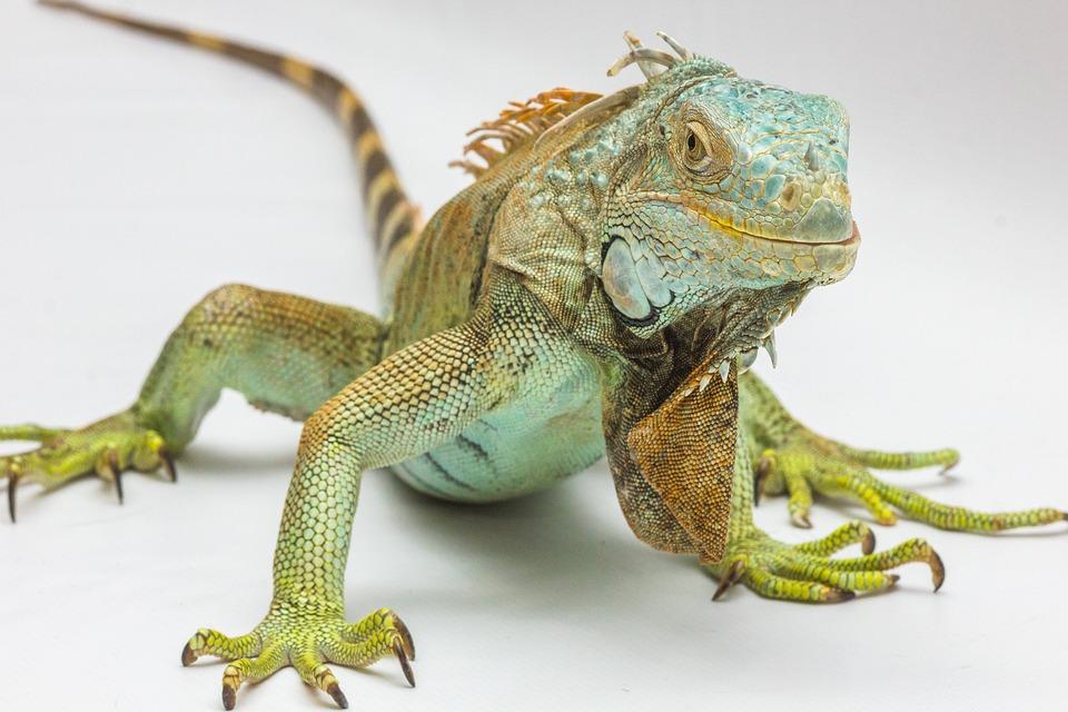 Iguana, White Background, Reptile