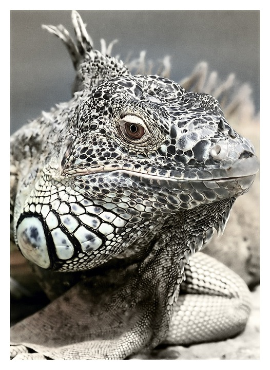 Black And White, Saurian, Animal, Nature, Iguana