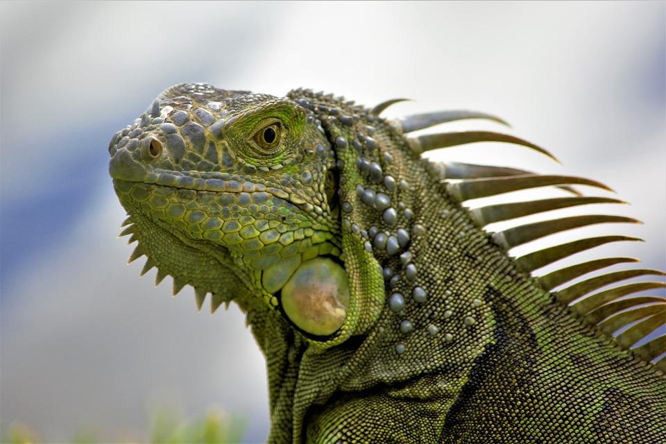 Iguana, Closeup, Head, Profile, Comb, Spikes, Green