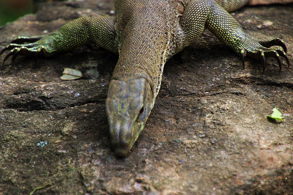 Iguanas, Reptiles, Nature, Lizards, Animals
