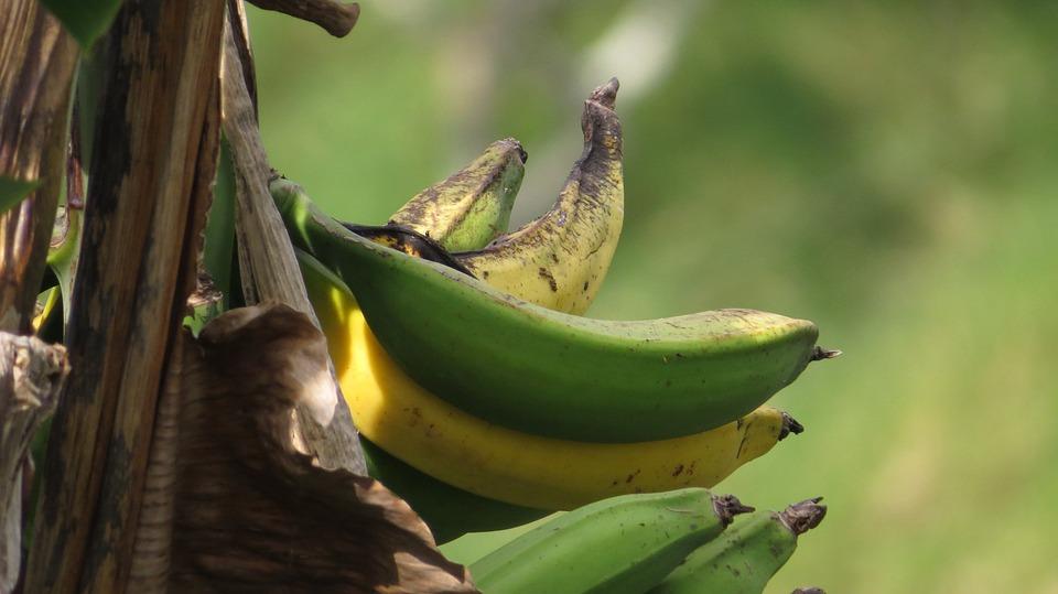 Image, Nature, Banana, Bananas