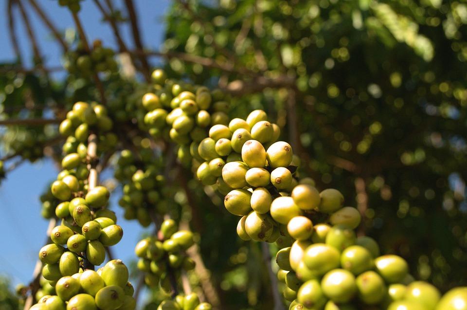 Coffee Robusta, Fruits, Imature Beans, Coffee Plant