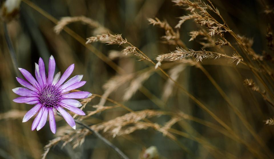 Eloquent Immortelle, Immortelle, Wildflower