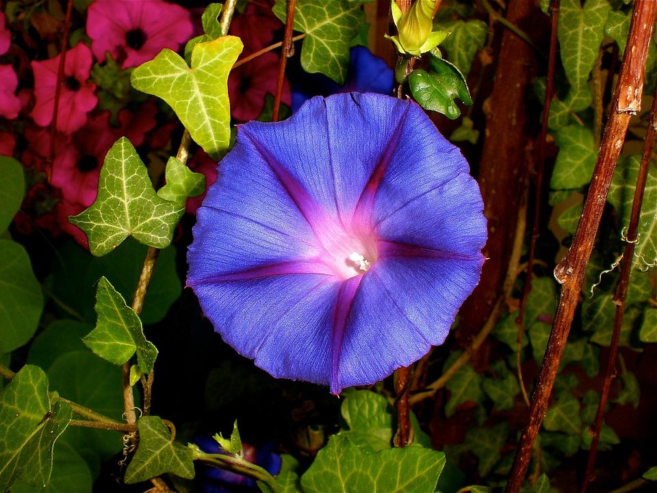 Purple Pageantry Winds, Imopea Purpurea, Climber