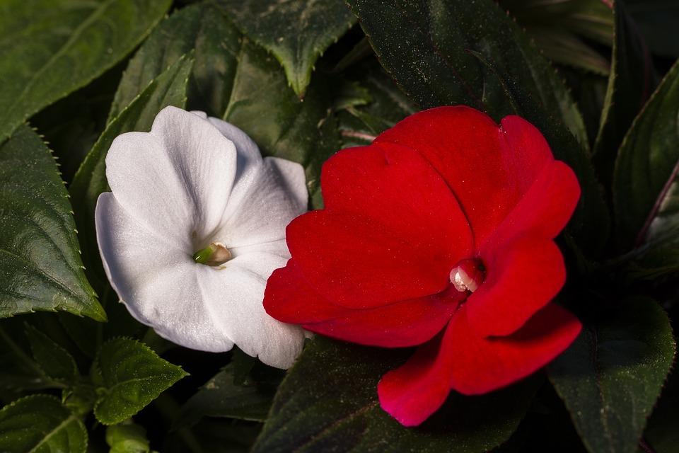 Diligent Practice Of Impatiens, Impatien, Blossom