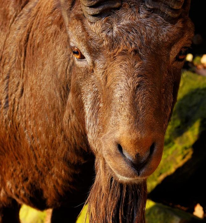 Free photo Imposing Animal Male Eyes Capricorn Mammal - Max Pixel