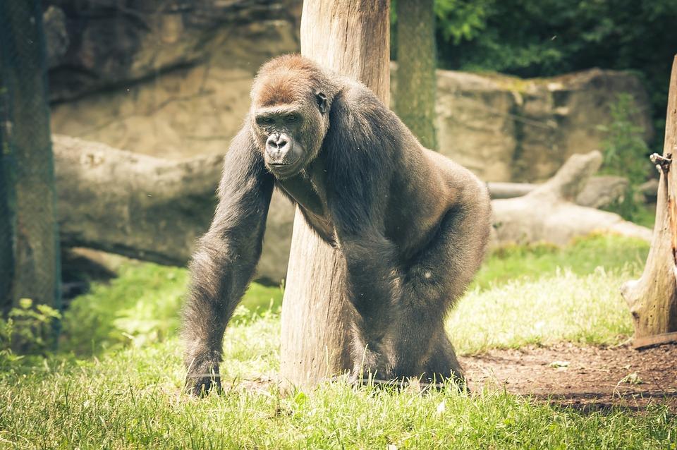 Silverback, Gorilla, Ape, Monkey, Imposing, Black